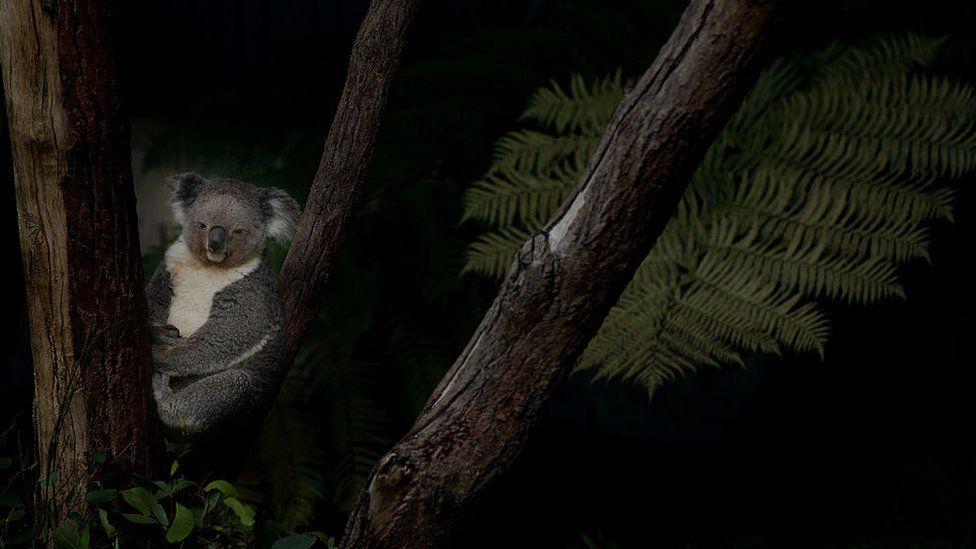 A koala bear sits in a eucalyptus tree