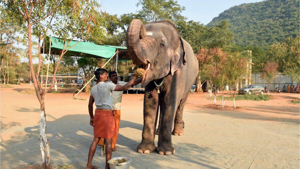 Elephant being fed