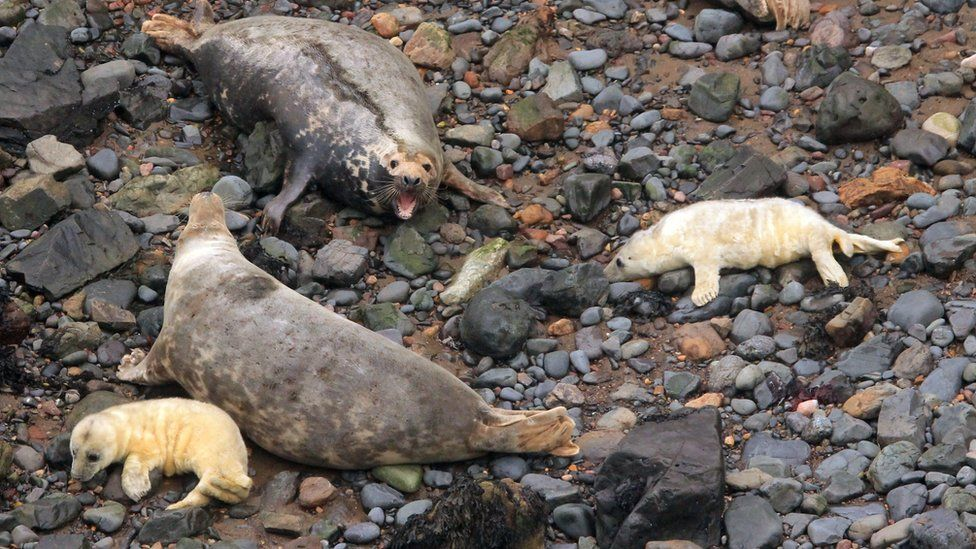 Looking down from rocks above on two adult seals with two pups