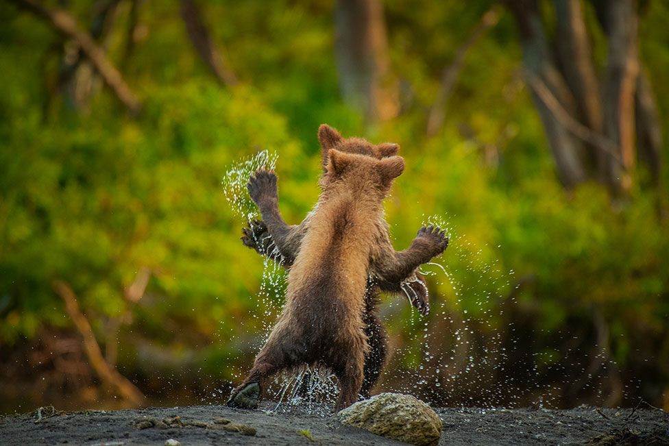 Two brown bear cubs playing together