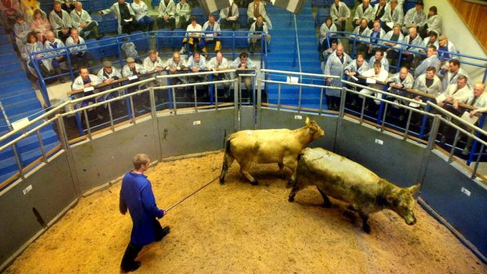 A cattle auction