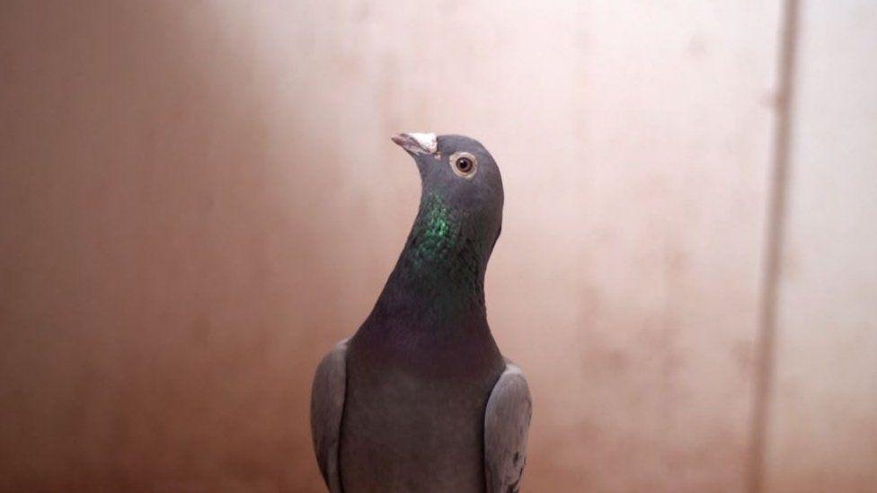 Armando the pigeon
