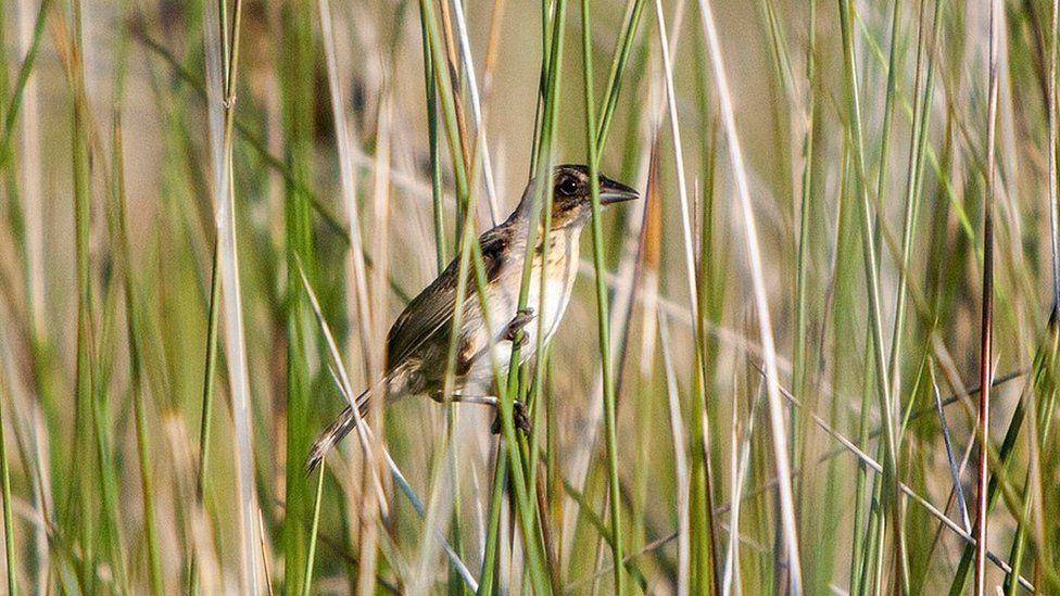 A seaside sparrow (Ammodramus maritimus) on black needlerush (Juncus roemerianus) stems (c) Andrea Bonisoli Alquati