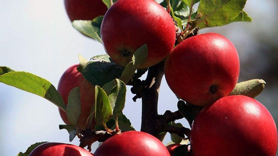 Cider apples