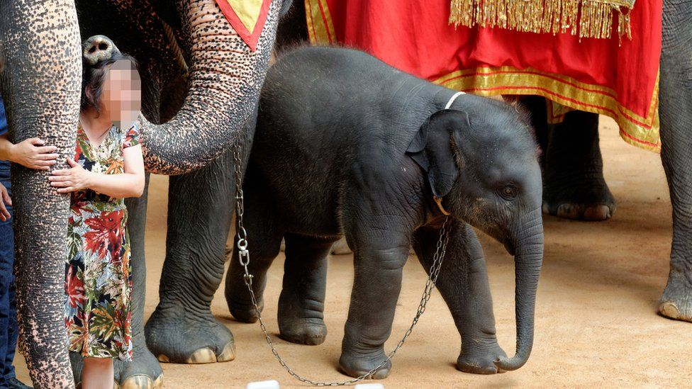 Chained young elephant