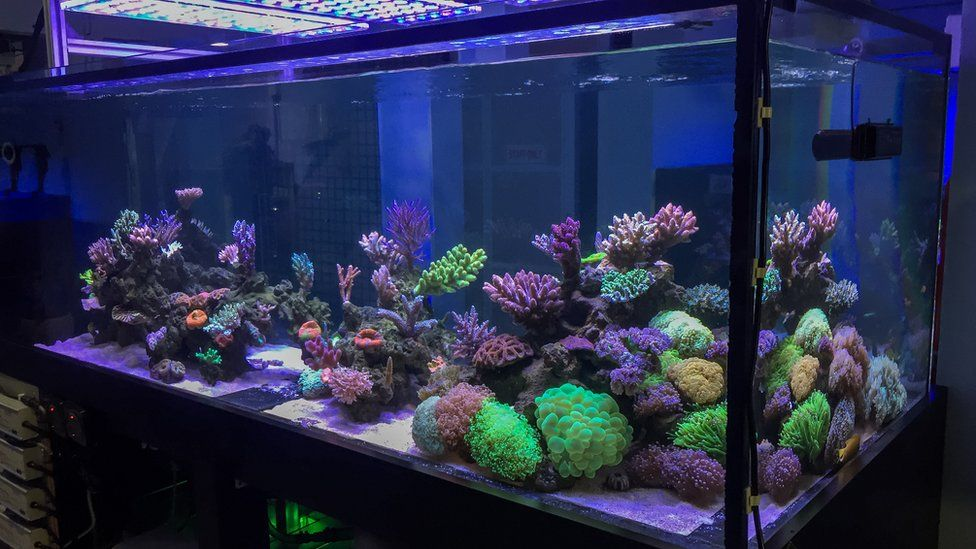Coral in a fish tank