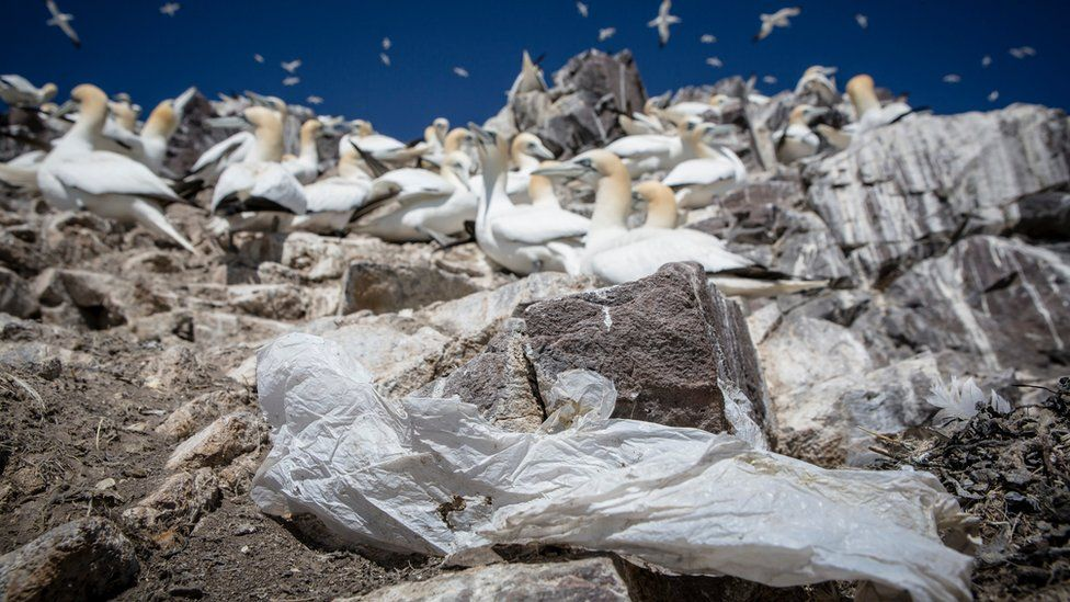 Plastic and Gannets at Bass Rock Scotland
