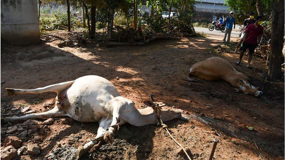 Graphic content / People stand near dead cows laying on the ground following a gas leak incident from an LG Polymers plant in Visakhapatnam