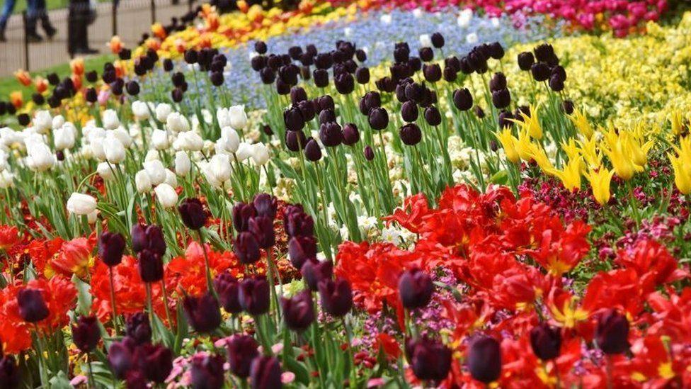 Tulips in St James's Park, London