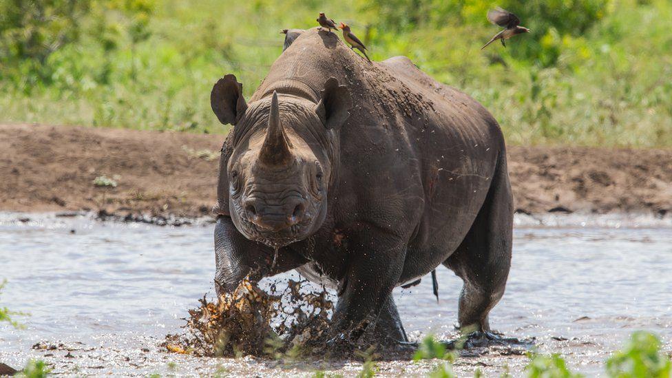 A Zululand black rhino