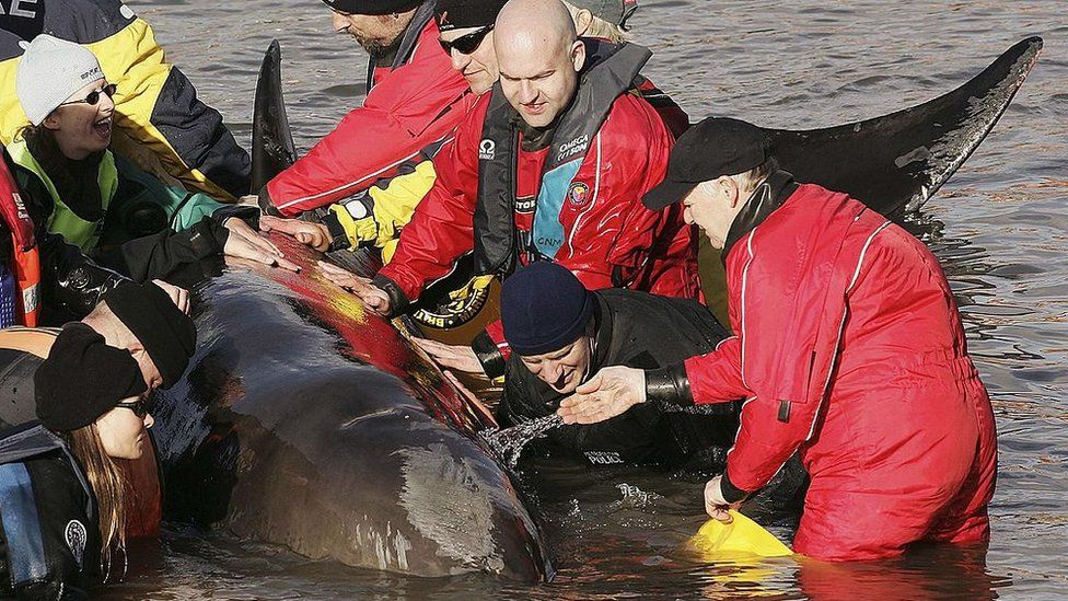People attempting to rescue Northern Bottlenose whale