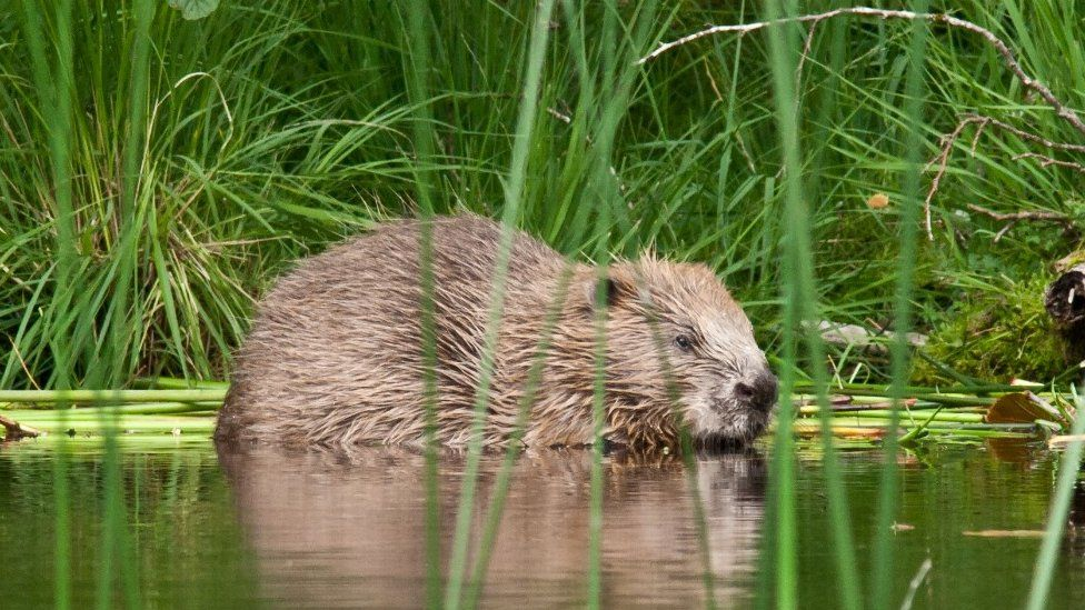 Adult beaver at Knapdale