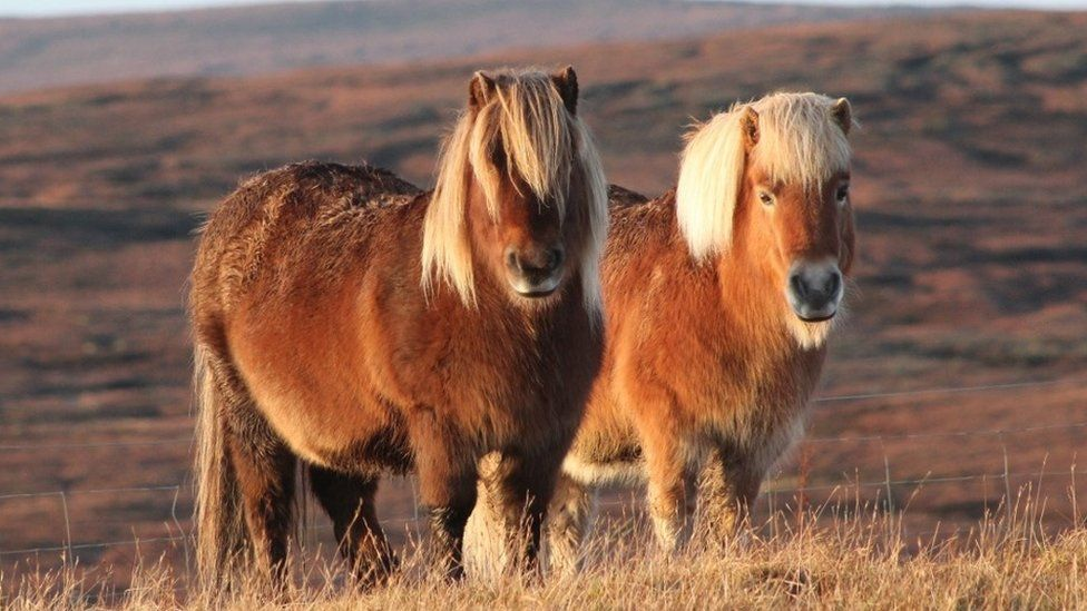 Two Shetland ponies looking at the camera