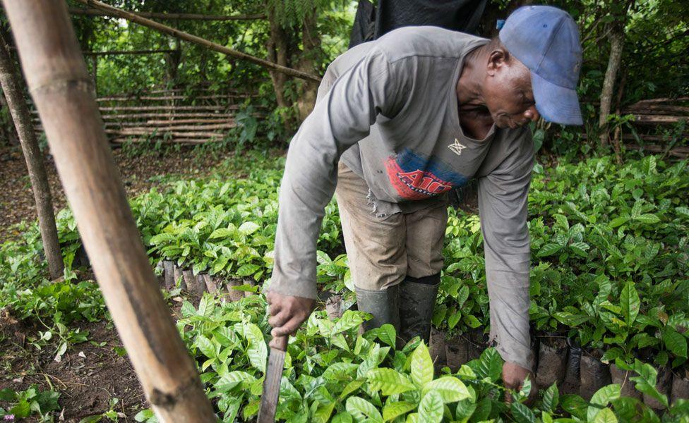 Coffee farmer George Klu works on his coffee farm in the Volta Region of Ghana