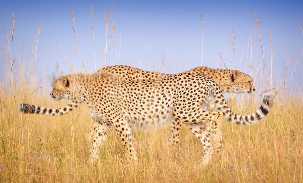 Two cheetahs walking past each other