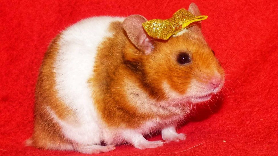 Treacle the hamster