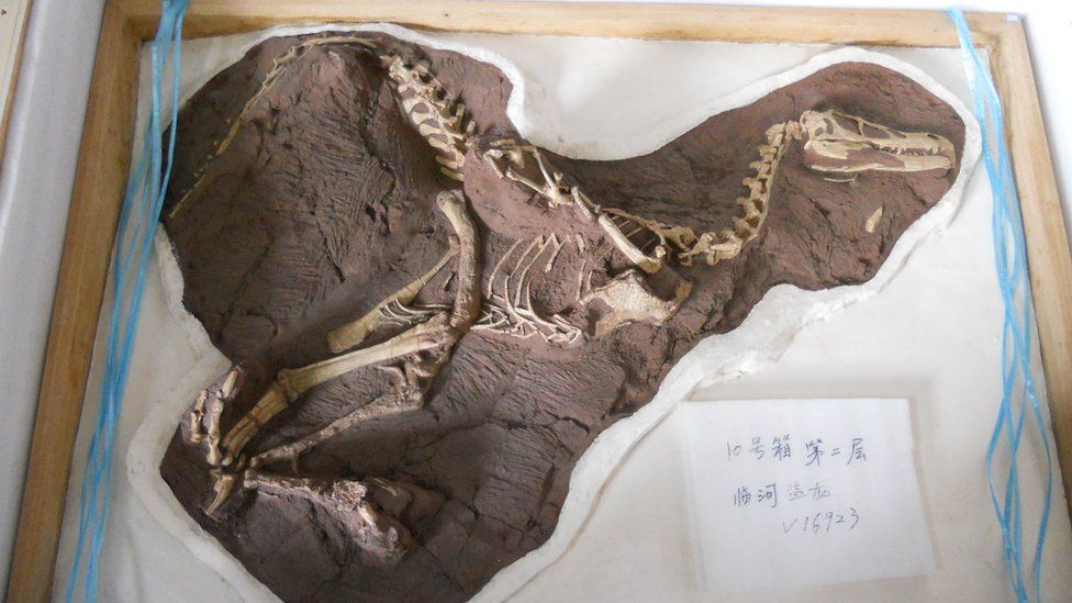 A dinosaur fossil packed for travel - Lufengosaurus