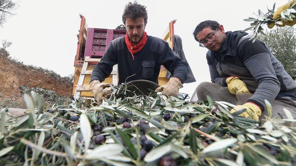 Spanish olive farmers