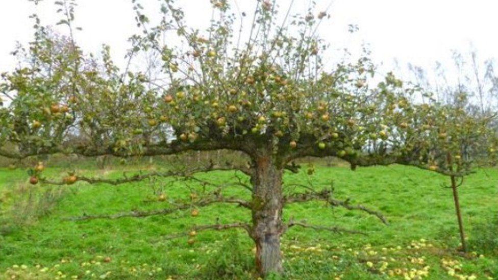 Apple tree in the Scottish Borders