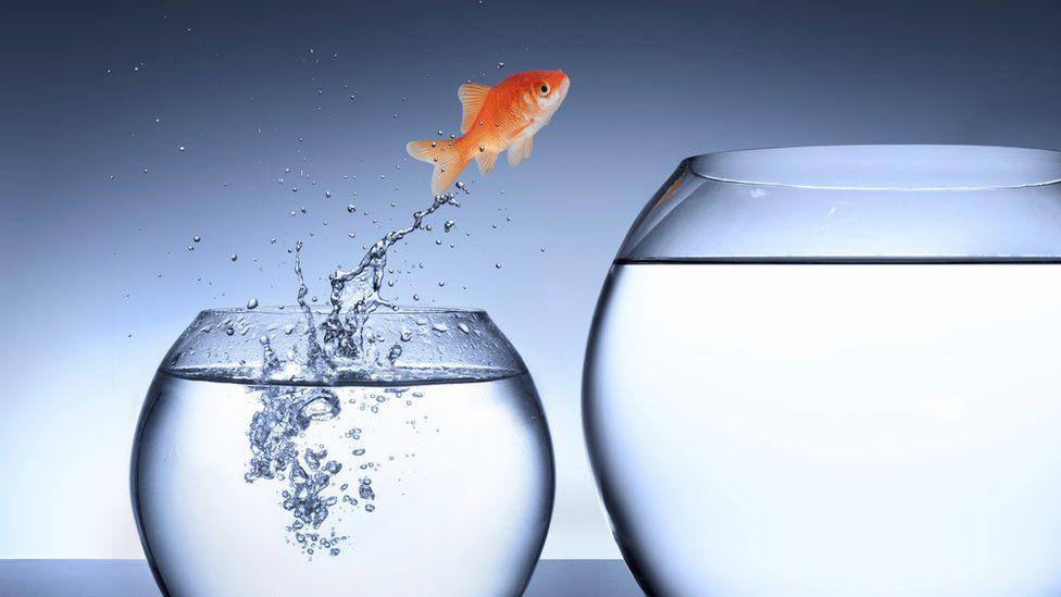 Goldfish leaping into bigger bowl