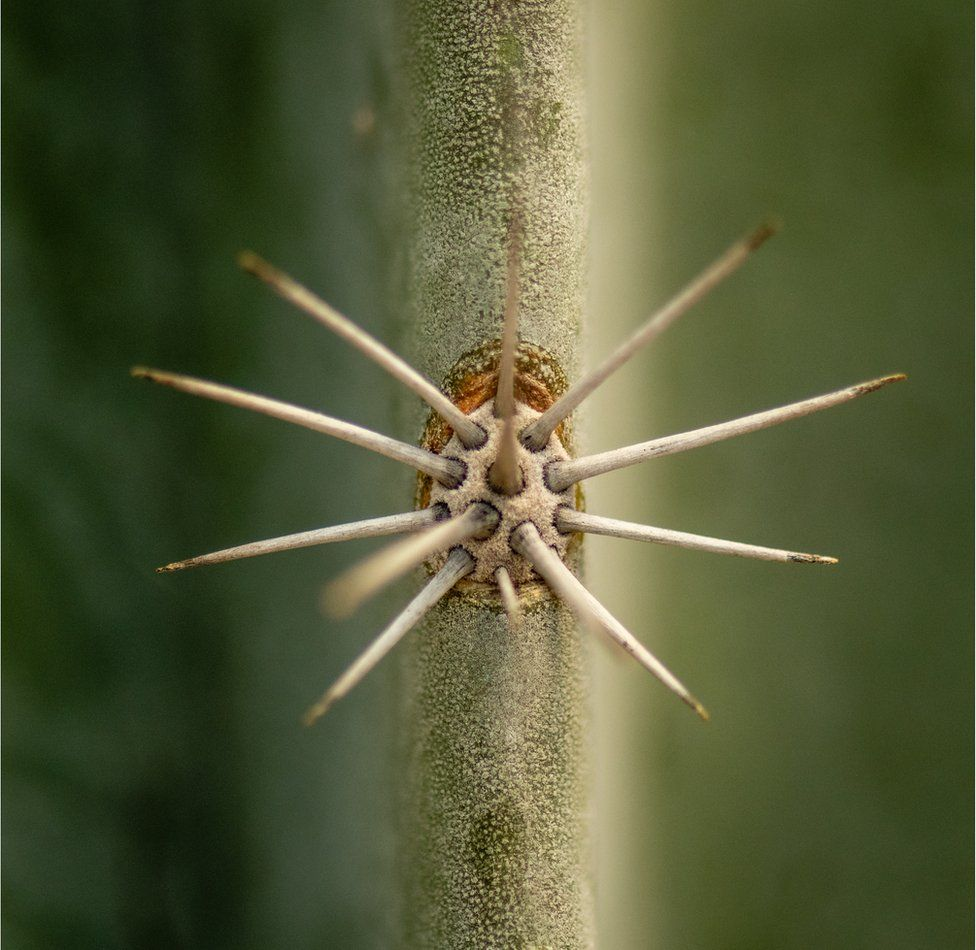 A close-up of cactus spikes