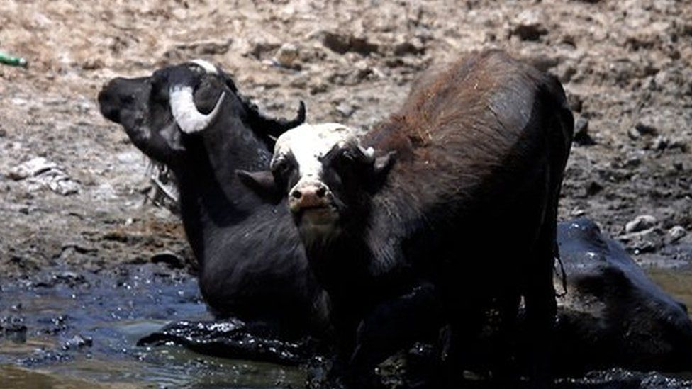Buffalo in a riverbed