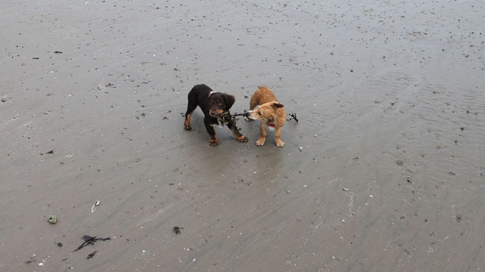 Dogs biting seaweed