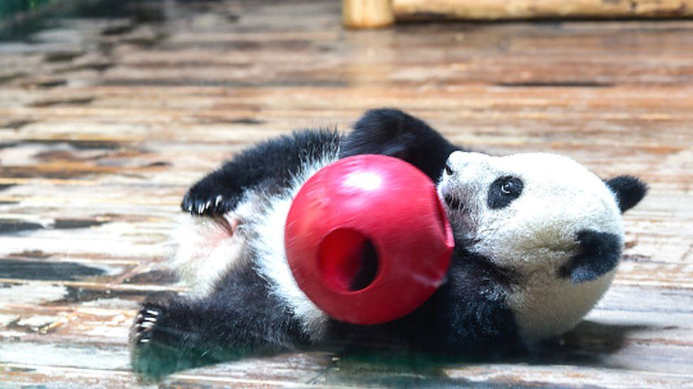 Panda triplets at a zoo in south China's Guangdong province
