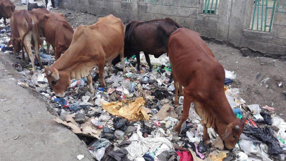 Cows grazing on rubbish