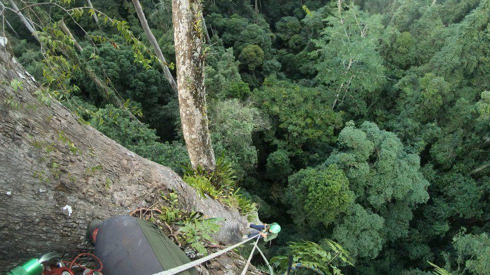 World's tallest tropical tree Menara