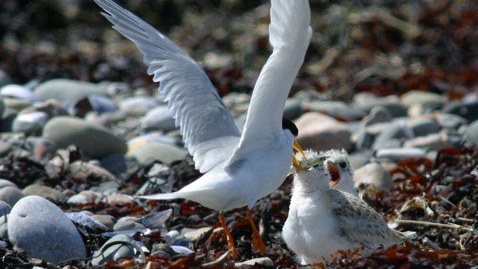 Little tern feeding chicks at Foulney Island