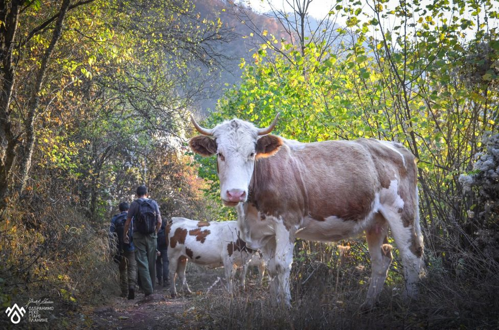 краве на старој планини