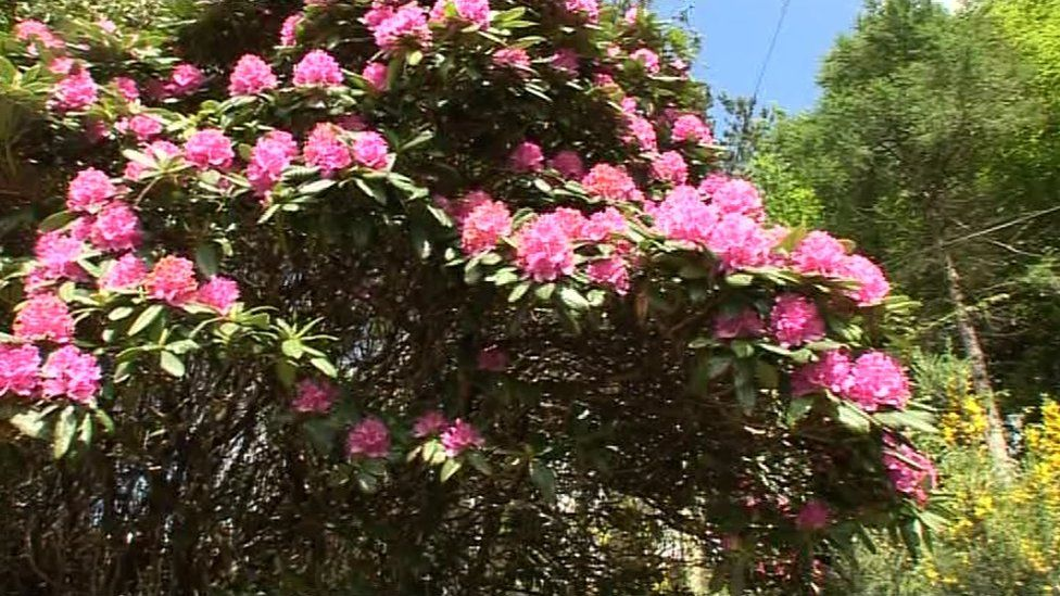 Rhododendron plant