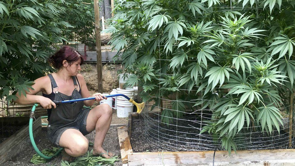 An unnamed worker waters cannabis plants on Steve Dillon's farm in Humboldt County, California, U.S. August 28, 2016.