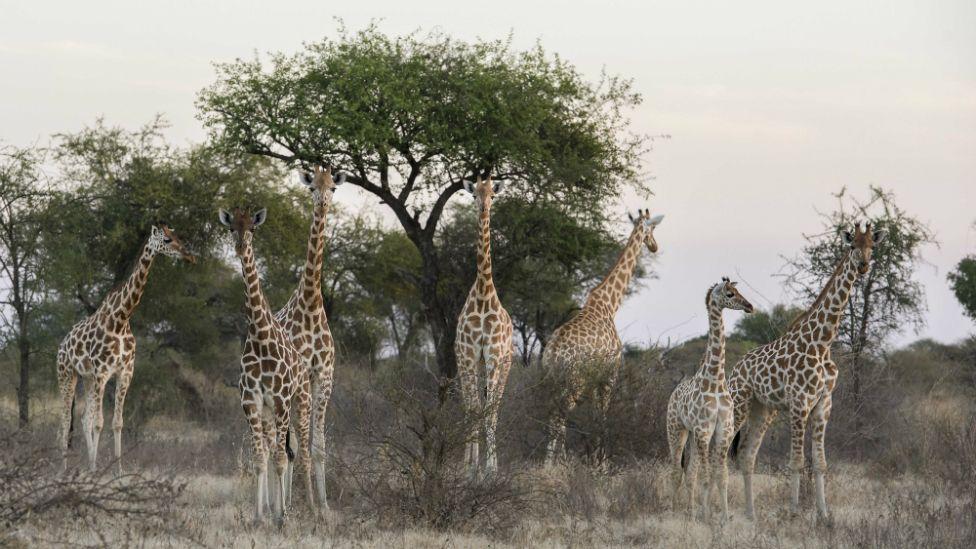 Giraffes in the Zakouma National Park in Chad