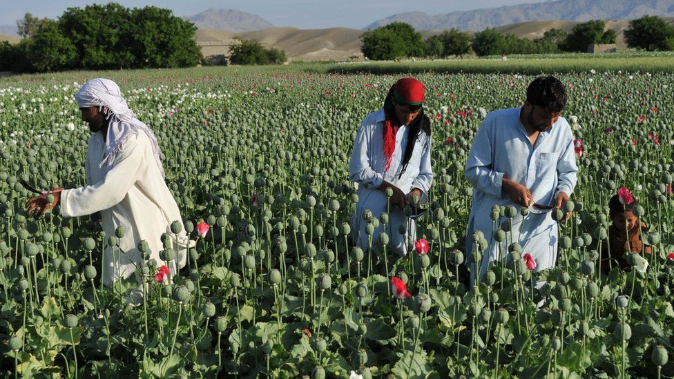 Afghan farmers collect raw opium as they work in their poppy field in Khogyani District of Nangarhar province on 29 April, 2013
