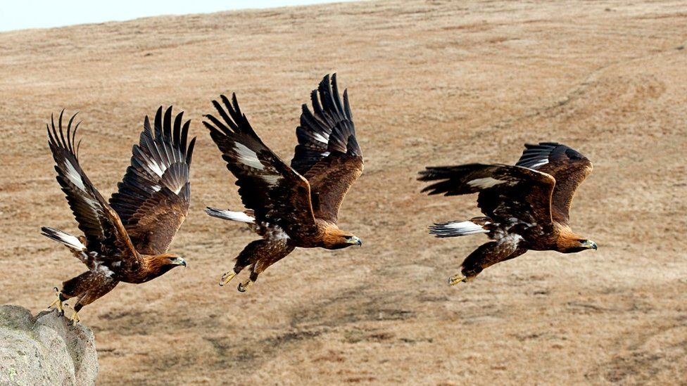 Golden eagle taking off (c) Science Photo Library