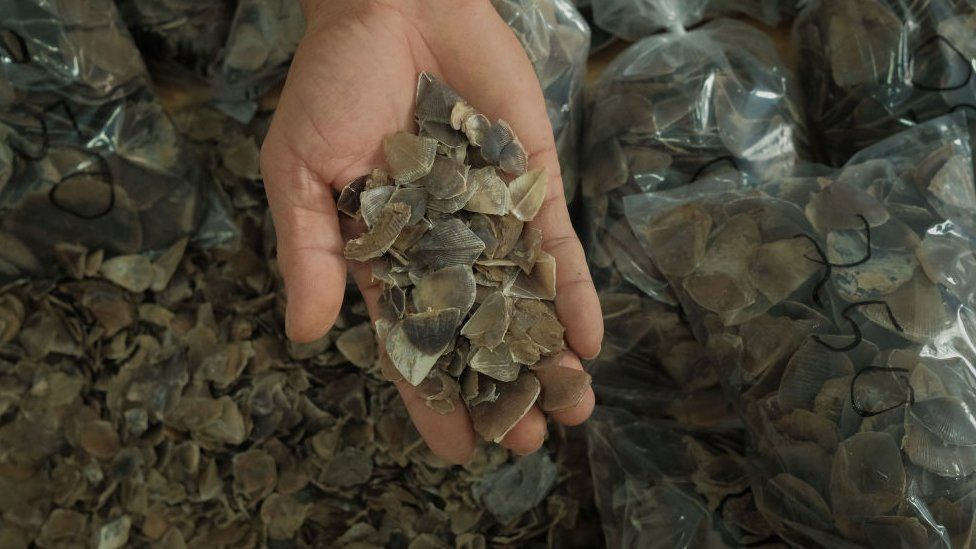 Hand holding pangolin scales