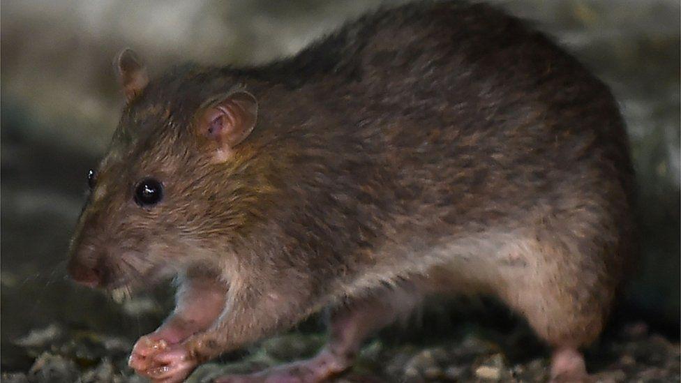 A brown rat eats a morsel of food