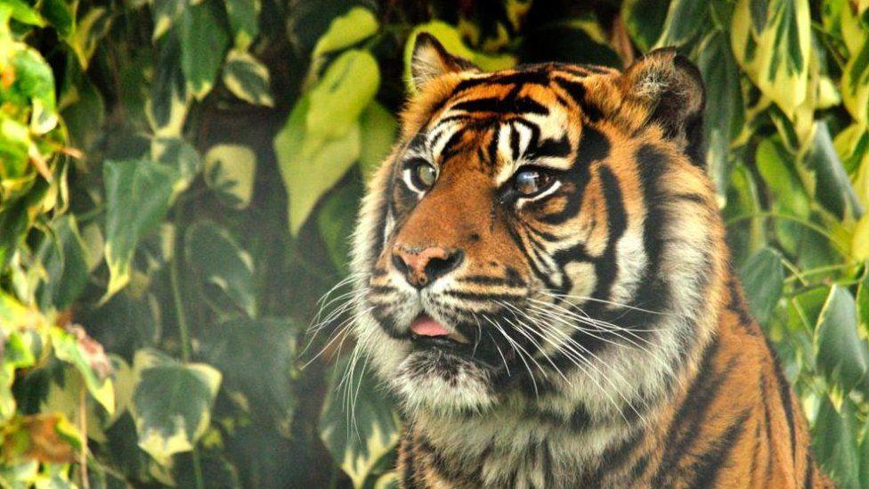 Ratna the tiger