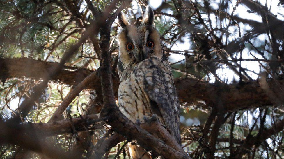 A long-eared owl in Kikinda