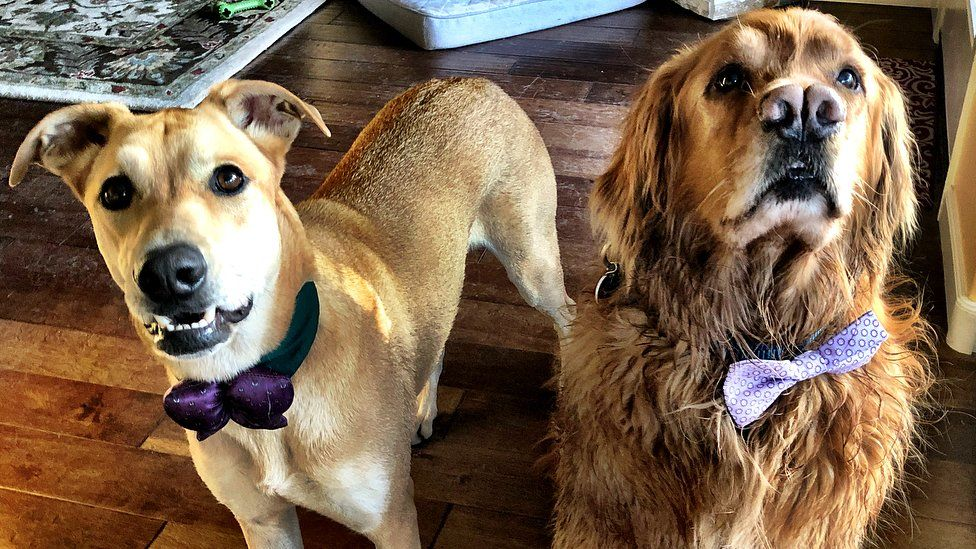 A golden retriever looks wistfully beyond the camera while a the shepherd/pit bull/labrador mixed breed pooch looks at the camera. Both wear purple bow ties and look majestic.