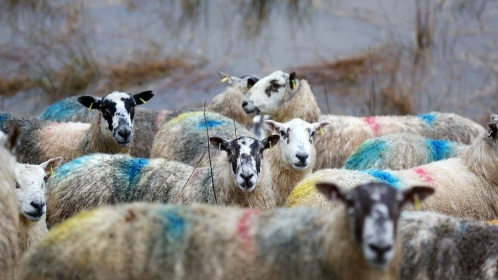 Sheep cut off by a flooding River Tweed in The Scottish Borders