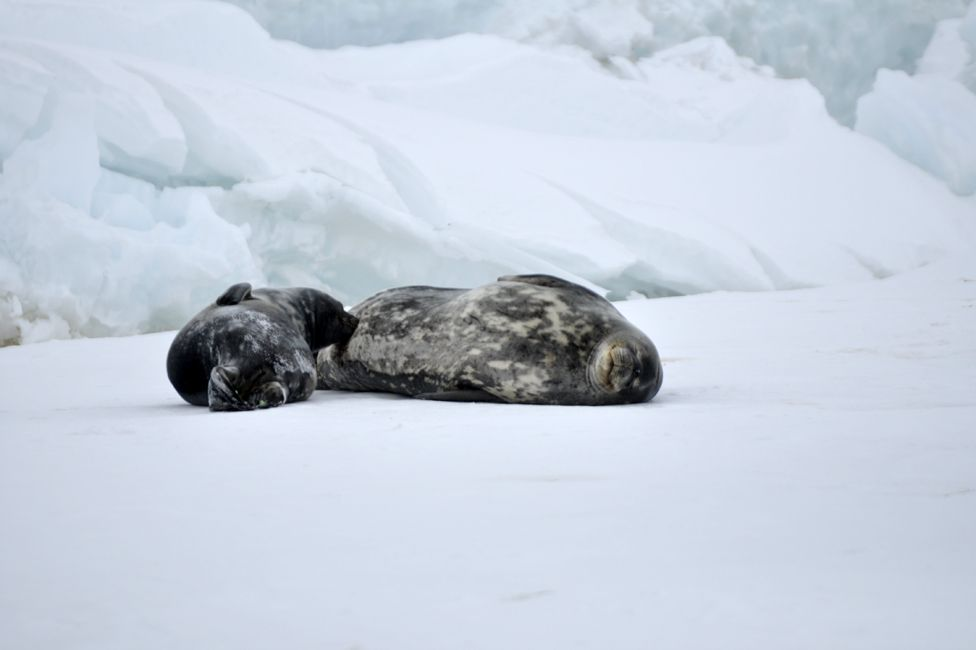 Seals lying on the ice