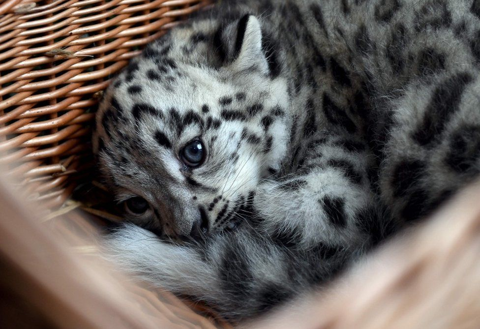 A baby snow leopard lays in a basket at the Tierpark zoo in Berlin as he gets his first vaccination on August 10, 2017.