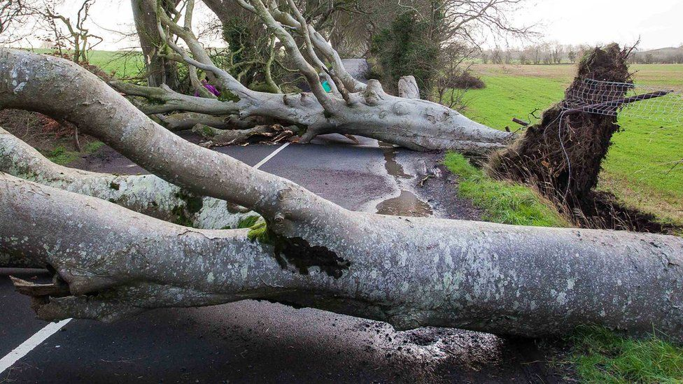 Two of the beech trees are pictures collapsed across the road