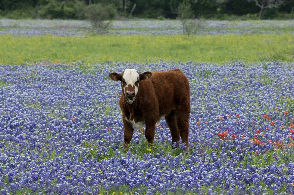 A brown cow in a meadow full of flowering blue bonnets