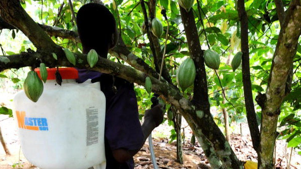 An employee sprays insecticide on a cocoa tree in the village of Yao-Akakro, in the Aboisso region on March 1, 2009. Ivory Coast is the world's largest cocoa producer.