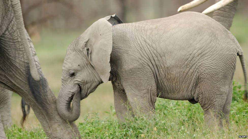 Baby elephant nudging its mother