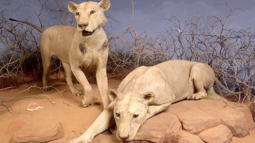 Two taxidermied man-eating lions from the Tsavo region in Chicago, Illinois